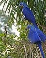 Hyacinth Macaws (Anodorhynchus hyacinthinus) (28270949144).jpg