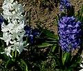 Hyazinthen 31 März 2007.JPG