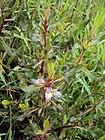 Hygrophila auriculata 02.JPG