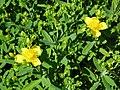 Hypericum kalmianum 1-eheep (5098099112).jpg