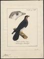 Ibycter americanus - 1700-1880 - Print - Iconographia Zoologica - Special Collections University of Amsterdam - UBA01 IZ18200005.tif