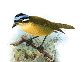 Blue-capped ifrit species of bird