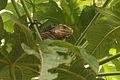 Iguana delicatissima in Picard, Dominica-2012 03 06 0517.jpg