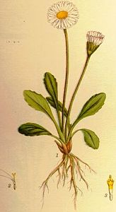Illustration Bellis perennis.jpg