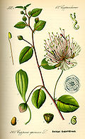 Illustration Capparis spinosa0.jpg