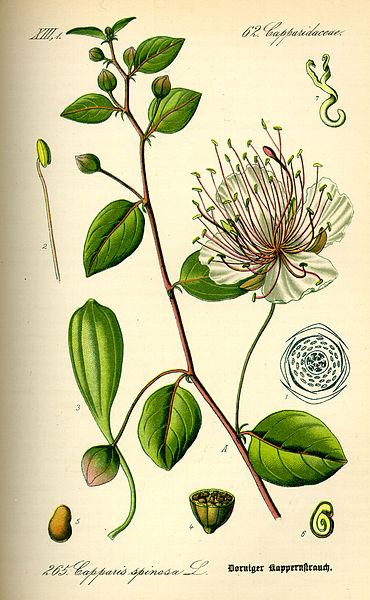 File:Illustration Capparis spinosa0.jpg
