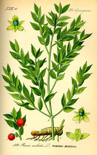 Phylloclade - Image: Illustration Ruscus aculeatus 0
