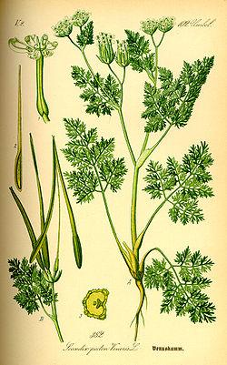 Scandix pecten-veneris