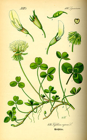 Illustration Trifolium repens0.jpg