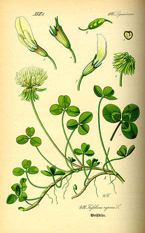 https://upload.wikimedia.org/wikipedia/commons/thumb/7/7c/Illustration_Trifolium_repens0.jpg/290px-Illustration_Trifolium_repens0.jpg