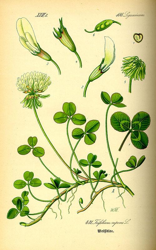 500px illustration trifolium repens0