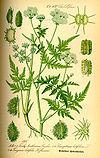 Illustration Turgenia latifolia0