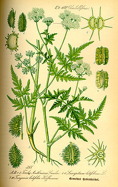 Illustration Turgenia latifolia0.jpg