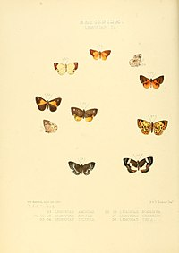 Illustrations of new species of exotic butterflies Lemonias IV.jpg