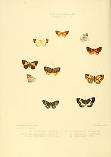 <i>Adelotypa</i> genus of insects