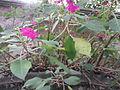 Impatiens gardeneriana-1-yercaud-salem-India.JPG