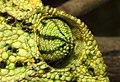 Indian Chameleon Chamaeleo zeylanicus by Dr. Raju Kasambe DSCN7134 (21).jpg
