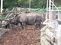 Indian Rhinoceros at Edinburgh Zoo.jpg