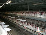 Industrial farming of chickens.