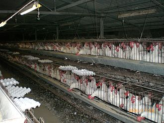Poultry farming in the United States - Battery chickens