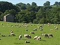 Intensive sheep farming near Hartley - geograph.org.uk - 1398745.jpg