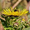 Inula helenium-IMG 8480.jpg