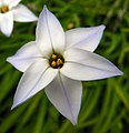 IpheionUniflorum 'White star' 02.jpg
