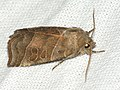 Ipimorpha retusa - Double kidney - Острокрылая совка ивовая (40234784835).jpg