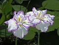 Iris ensata, 'Arctic Fancy' cultivar (Chanticleer Garden) Edit.jpg