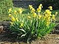 Iris jaunes à Lacrost.jpg