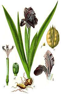 Iris pumila Sturm60