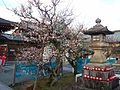 Iwazu-ten'man-gû Shintô Shrine - Stone lantern and Plum trees.jpg