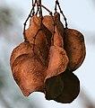 Jacaranda (Jacaranda mimosifolia) fruit in Hyderabad W IMG 6971.jpg