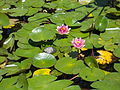 Japanese Garden. Turtle on a leaf. - Margaret Island, Budapest, Hungary.JPG