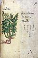 Japanese Herbal, 17th century Wellcome L0030112.jpg