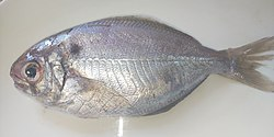 Japanese butterfish.jpg
