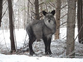 Japanese serow near Kusatsu.jpg