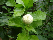 Jasmine Bud in Chennai during Spring.JPG