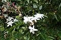 Jasminum polyanthum kz1.jpg
