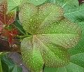 Jatropha hybrid - Leaf (116 DAS) (4594975615).jpg