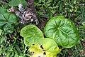 Jatropha podagrica 15zz.jpg