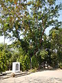 Jf9408Pterocarpus indicus Lubaofvf 02.JPG