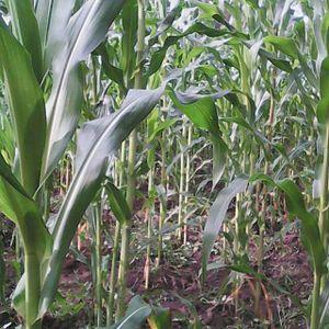 Masaka - Maize plantation in Masaka