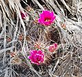 Joshua Tree National Park - Hedgehog Cactus (Echinocereus engelmannii) - 03.JPG