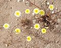 Joshua Tree National Park flowers - Malacothrix glabrata - 2.JPG