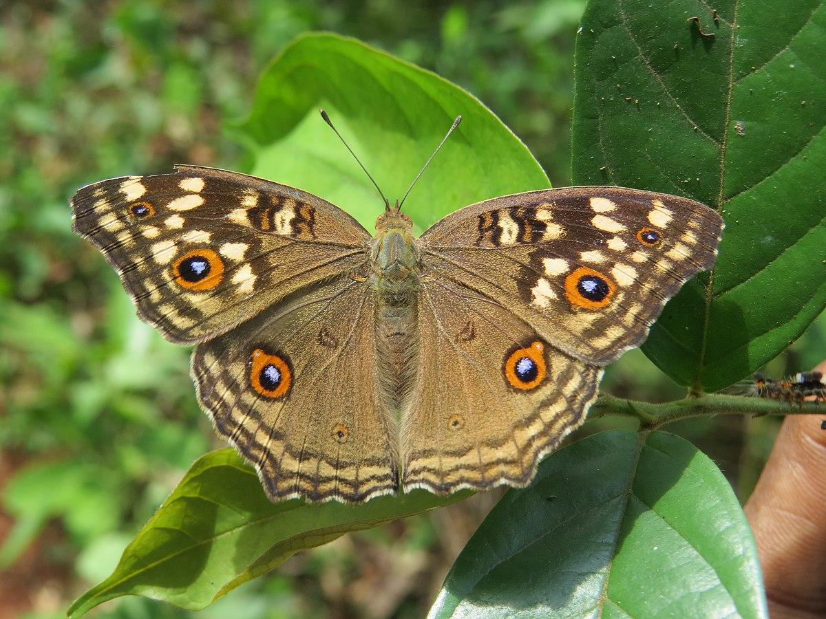 Junonia lemonias - Wikipedia