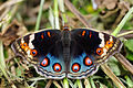 Junonia orithya female blue-type back 20140322.jpg