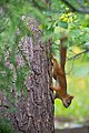 Juvenile squirrel climbing Pinus sylvestris, Hyvinkää, Finland, 2017-08-01.jpg
