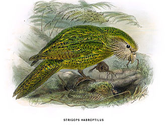 Kakapo - Illustration of a kakapo from the book A History of the Birds of New Zealand by Walter Lawry Buller, published in 1873.