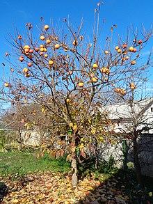 glattschaliger pfirsich kreuzworträtsel